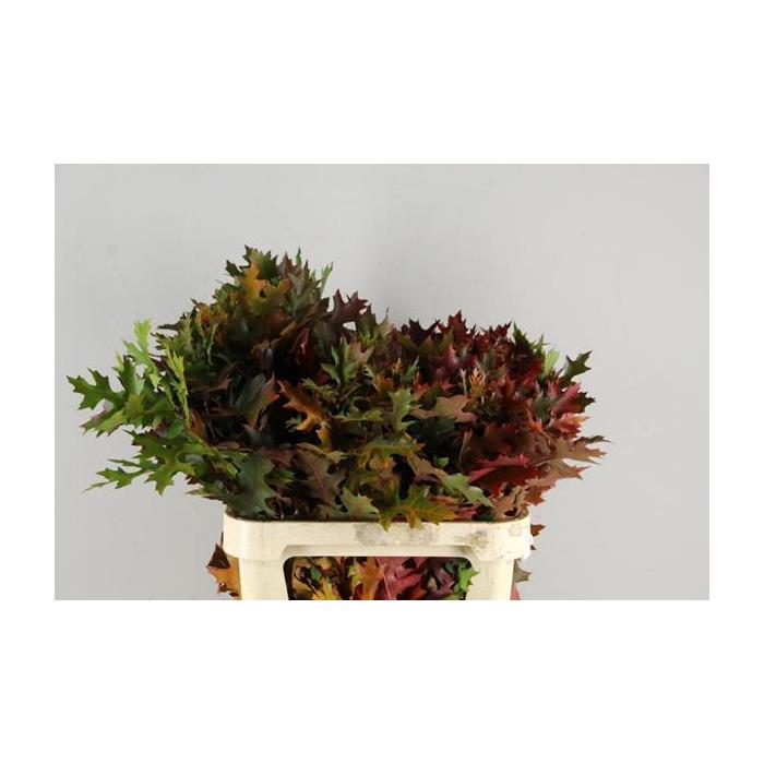 <h4>Eikenblad Palustris</h4>
