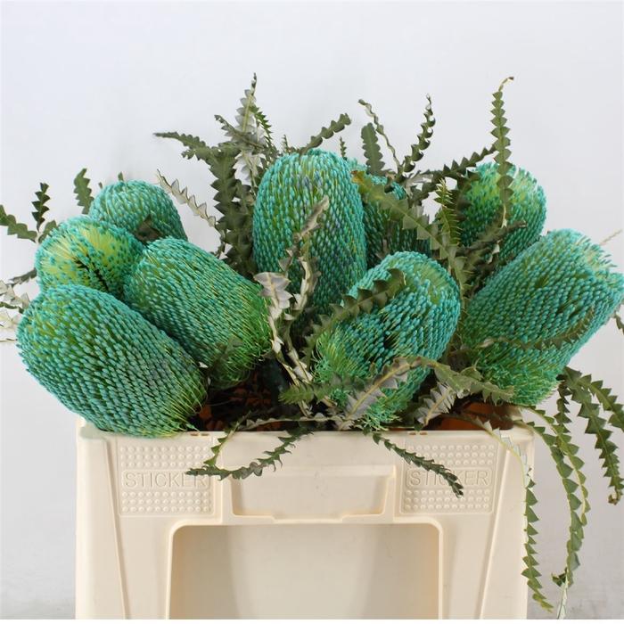 <h4>Banksia Speciosa Turquoise</h4>