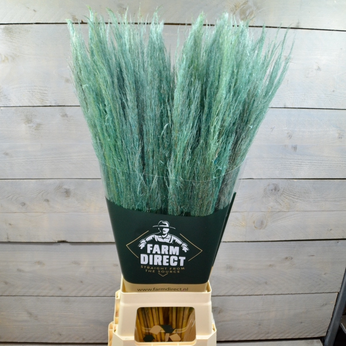 <h4>PAMPAS GREEN DRIED</h4>