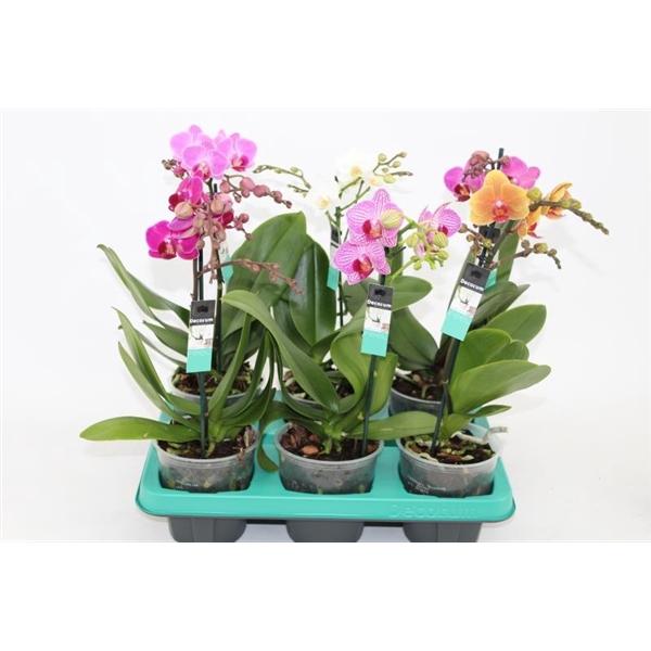 <h4>Phalaenopsis mf. mix</h4>