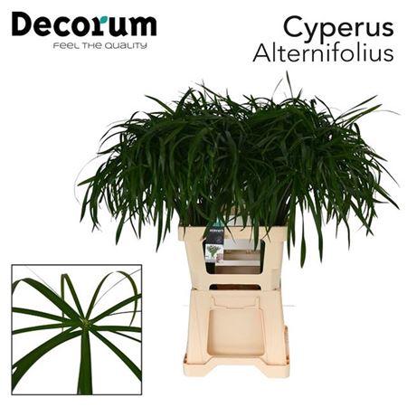 <h4>Cyperus Alternifolius</h4>