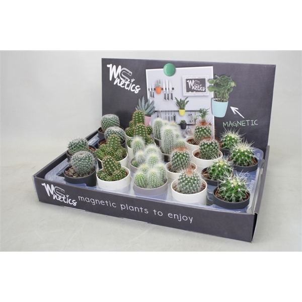 <h4>Cactus mix 5,5 cm. in mc netics zwart/wit/grijs potjes</h4>