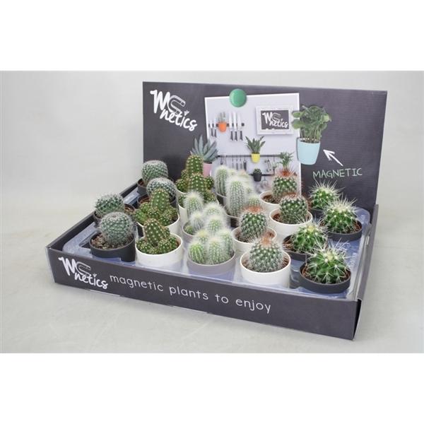 <h4>Cactus gemengd In magneetpotjes zwart/wit/grijs</h4>