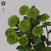 <h4>Chrysanthemum spray Code Green</h4>