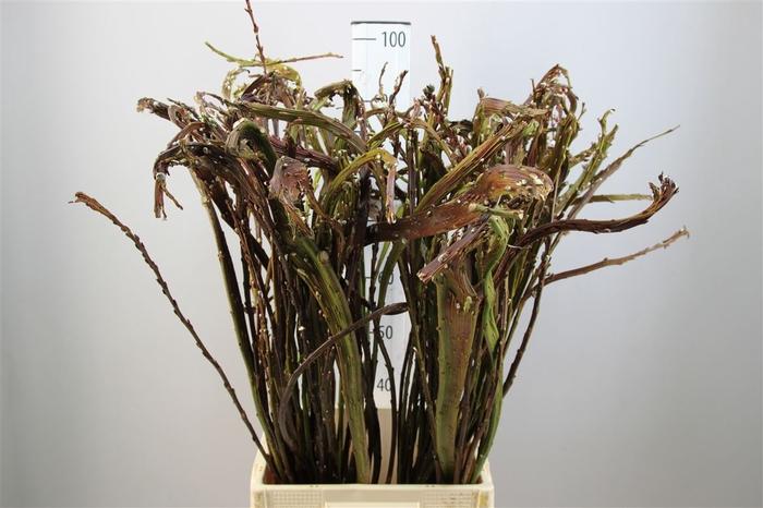 <h4>Salix Bandwilg 60</h4>
