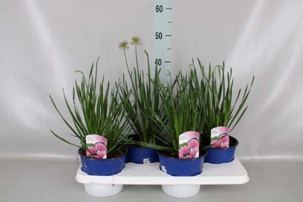 <h4>Allium senescens</h4>