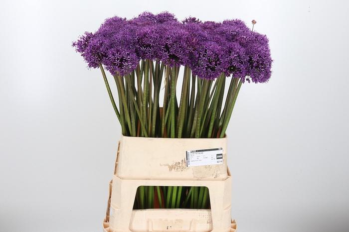 <h4>Allium Stratos</h4>