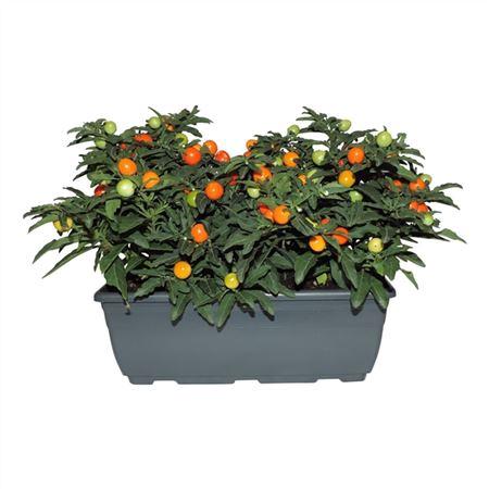 <h4>Solanum Pseudocapsicum Balkonbak</h4>