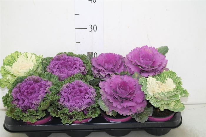 <h4>Brassica (sierkool) Gemengd</h4>