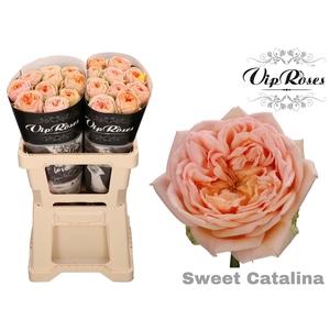 R GR SWEET CATALINA