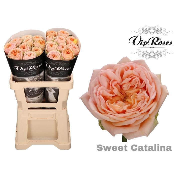 <h4>R GR SWEET CATALINA</h4>