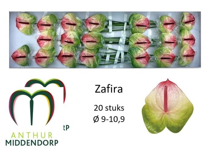 <h4>ANTH A ZAFIRA</h4>