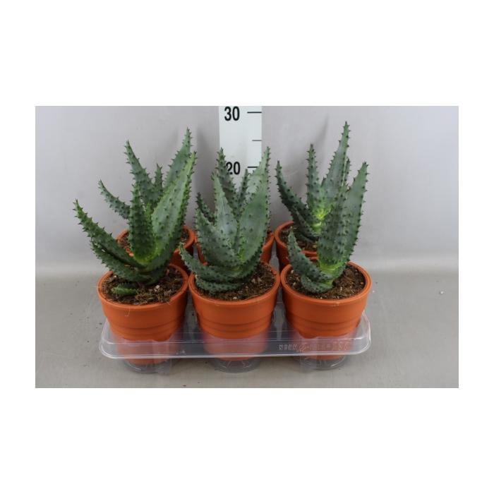 <h4>Aloe</h4>