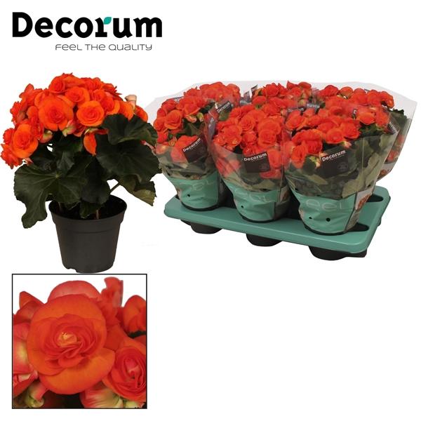<h4>Begonia ''reina'' oranje Decorum</h4>