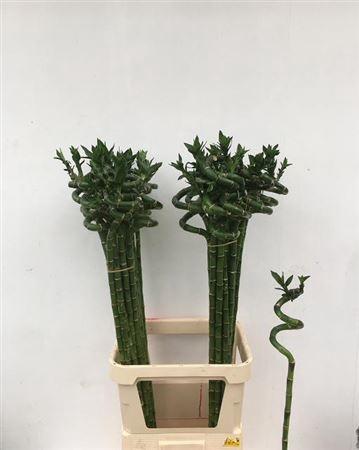 <h4>Drac S Lucky Bamboo 110cm</h4>