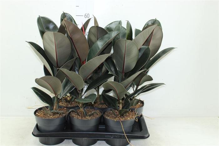 <h4>Ficus Abidjan</h4>