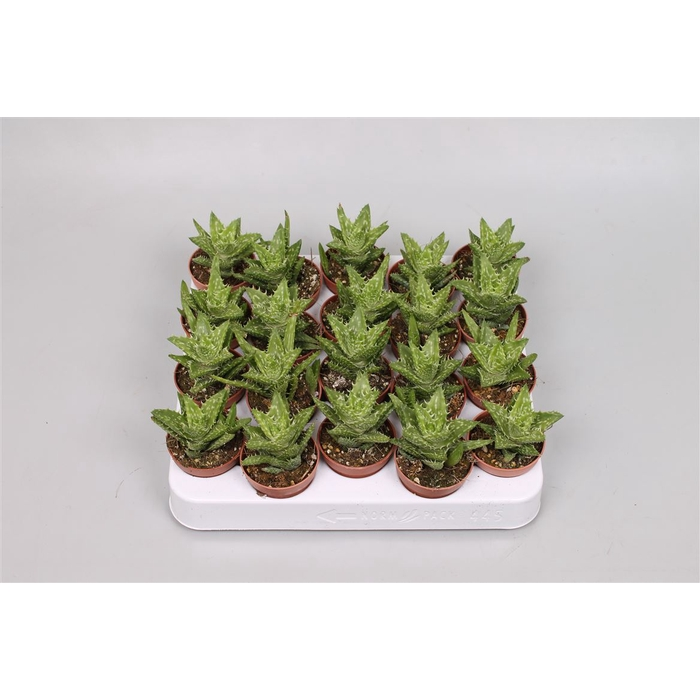 <h4>Aloe Squarrosa</h4>
