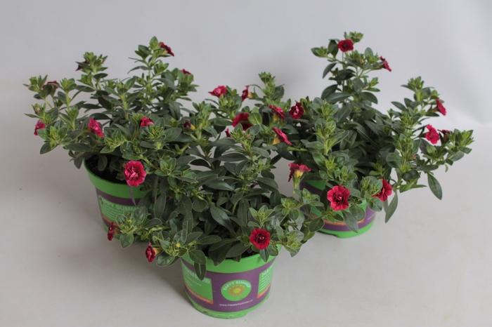 <h4>Calibrachoa MiniFamous  Double Dark Red</h4>