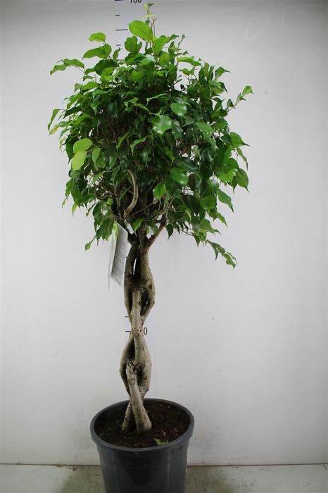 <h4>Ficus Benjamina Gevlochten</h4>