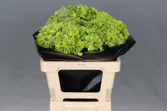 <h4>Hydrangea Emerald Green Select</h4>
