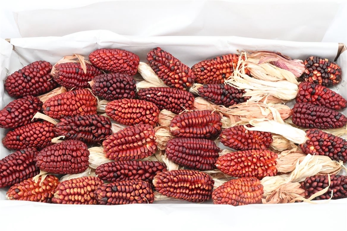 <h4>Zea Mays Med Red</h4>