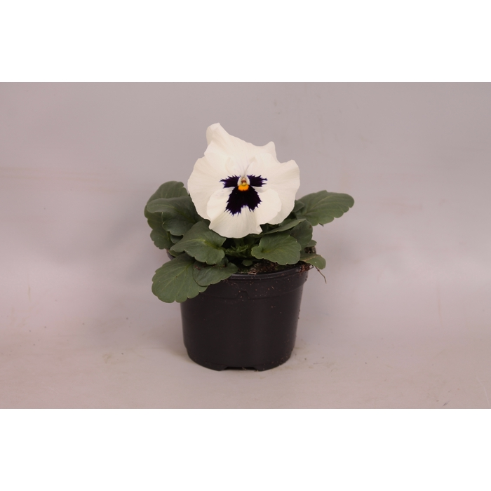 <h4>Viola wittrockiana F1 White with Blotch</h4>