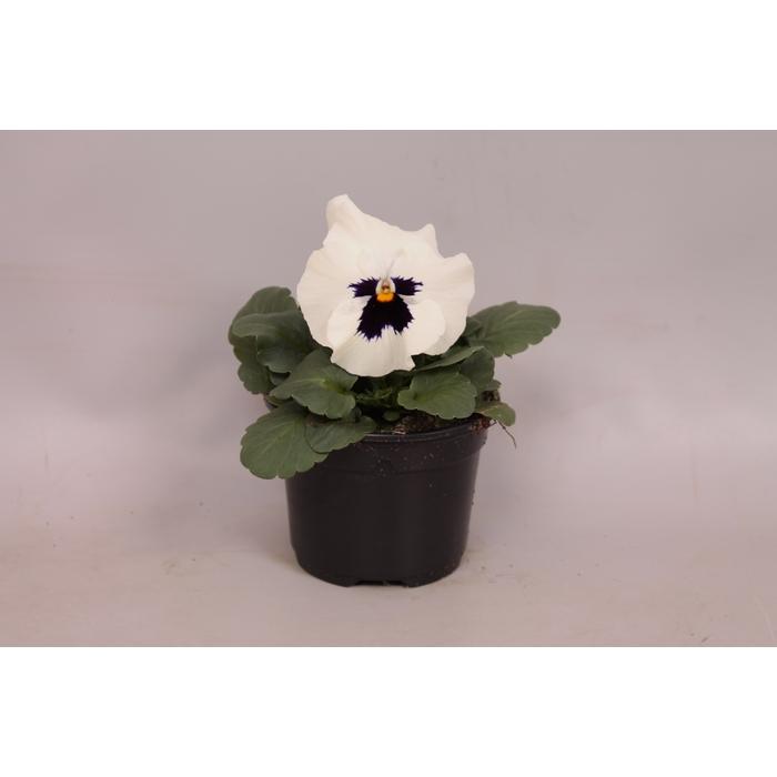 <h4>Viola sixpack F1 White with Blotch</h4>