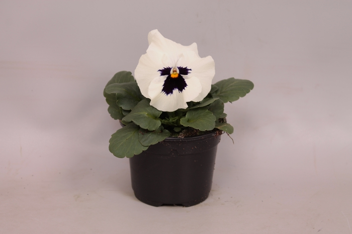 <h4>Viola wittrockiana F1 White with Blotch</h4>