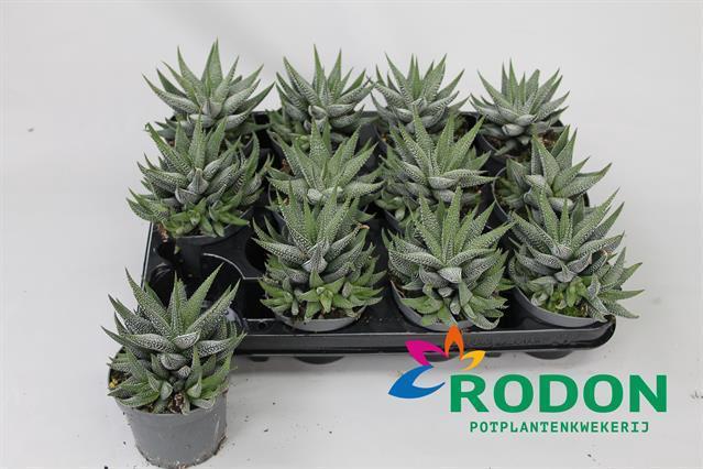 <h4>Haworthia Concolor 9Ø 17cm</h4>