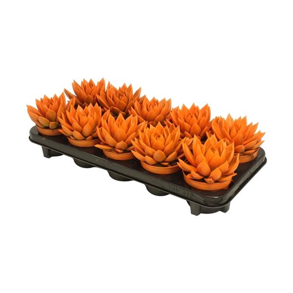<h4>Echeveria coloured orange</h4>