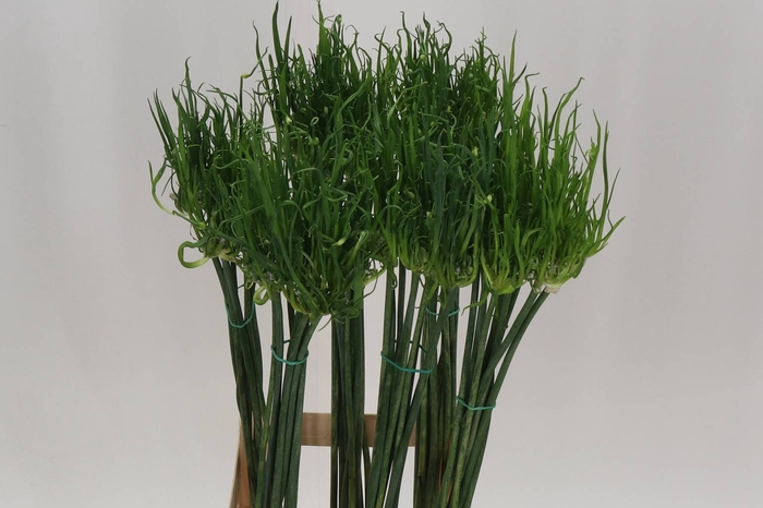Allium Fido Dido