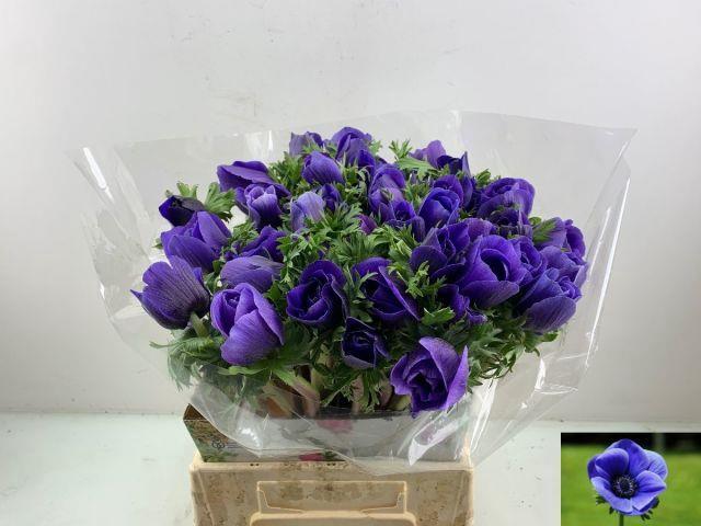 <h4>ANEM CO MIS + D BLUE</h4>