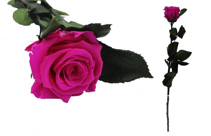 <h4>Rosa preservada hot pink</h4>
