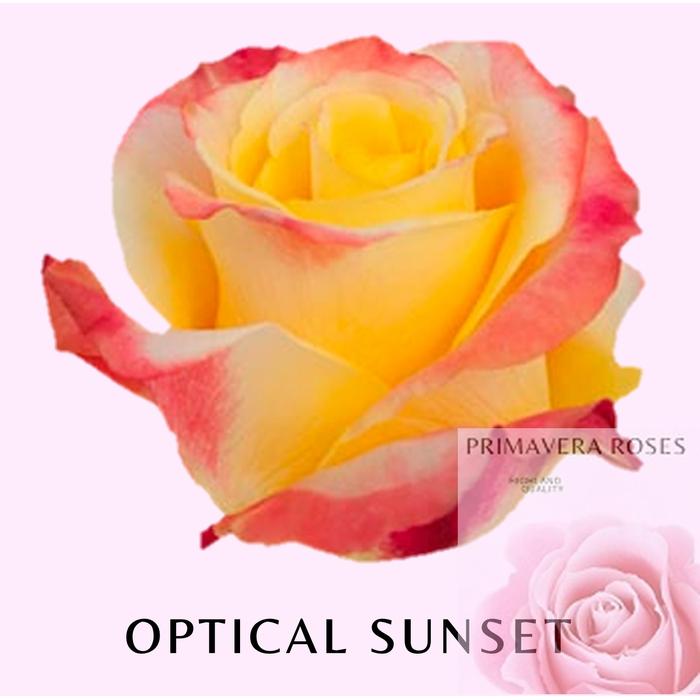 <h4>R GR OPTICAL SUNSET</h4>