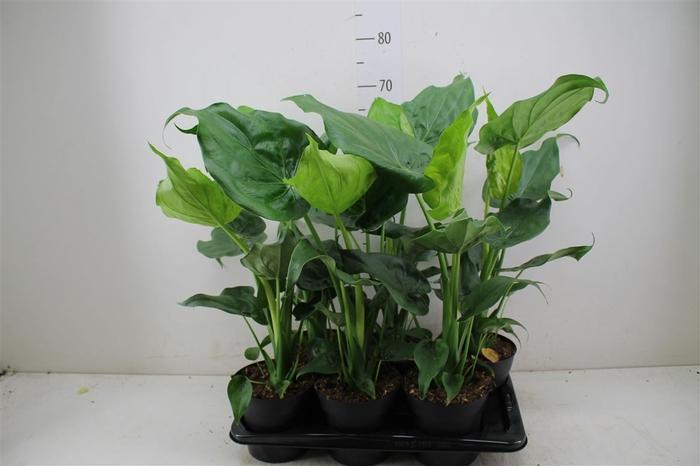 <h4>Alocasia Cucullata</h4>