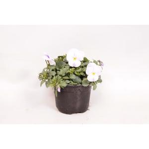 Viola cornuta F1 White