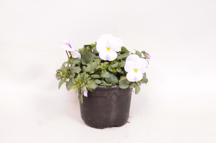 <h4>Viola cornuta F1 White</h4>