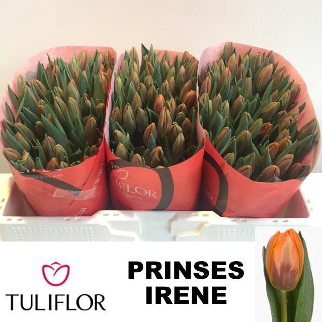 <h4>TU EN PRINSES IRENE</h4>