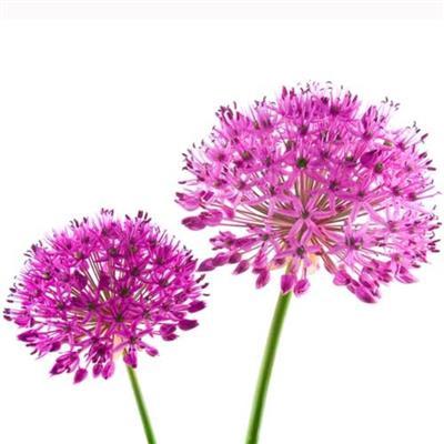 <h4>Allium Purple Sensation</h4>