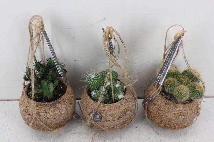 arr. Kokoplant - Cactus mix