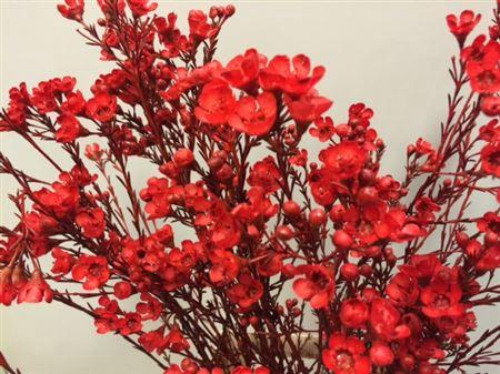 <h4>Wax Flower Red</h4>