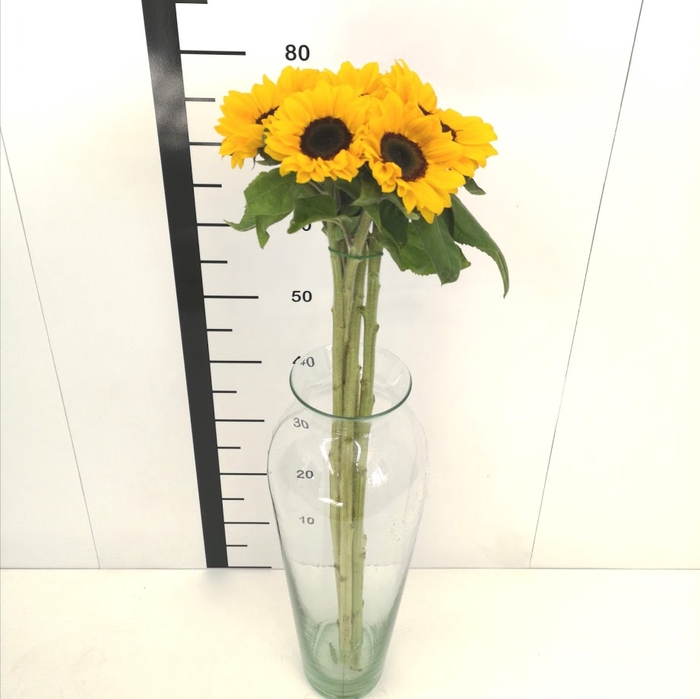 Helianthus vincent's choice ELABORADO