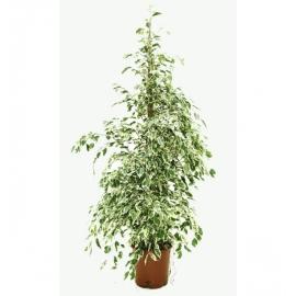 <h4>Ficus starlight</h4>