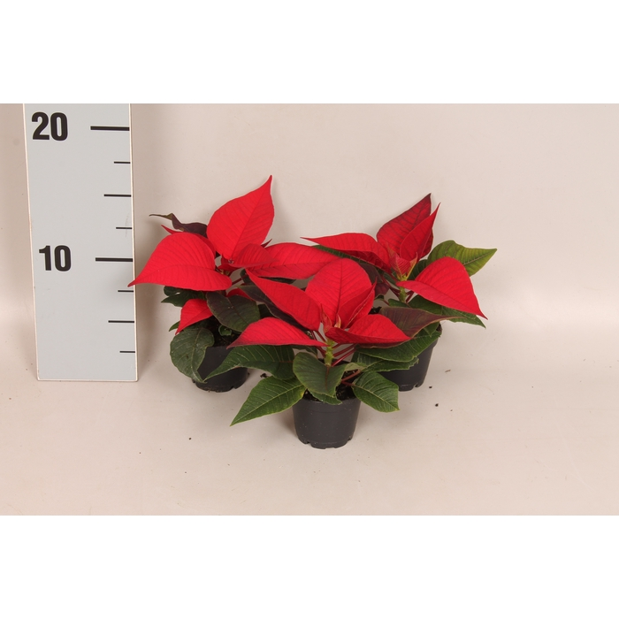 <h4>Poinsettia 6 cm Christmas Feelings® Merlot 1 kopper</h4>