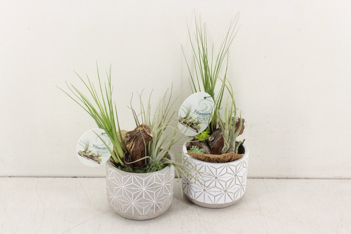 <h4>arr. Tillandsia GB - Ker. pot kl.</h4>