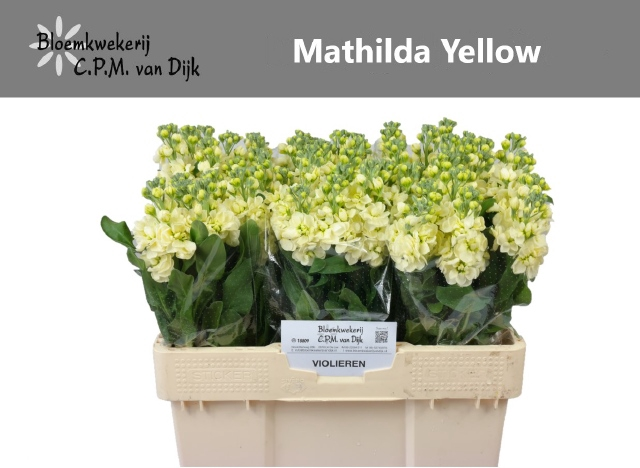 <h4>MATTH MATHILD YELLOW</h4>