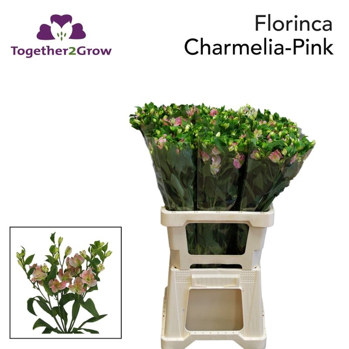 <h4>Alstro. Florinca Charmelia Pink</h4>