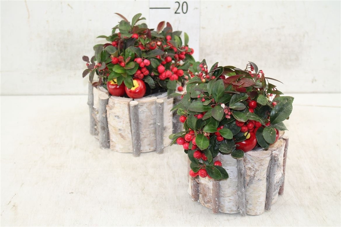 <h4>Arr Gaultheria In Houten Ton</h4>