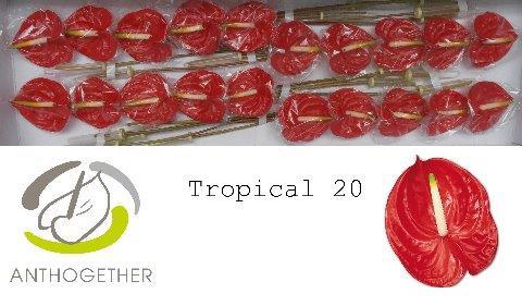 <h4>Anthurium (Andreanum Grp) 'Tropical'</h4>