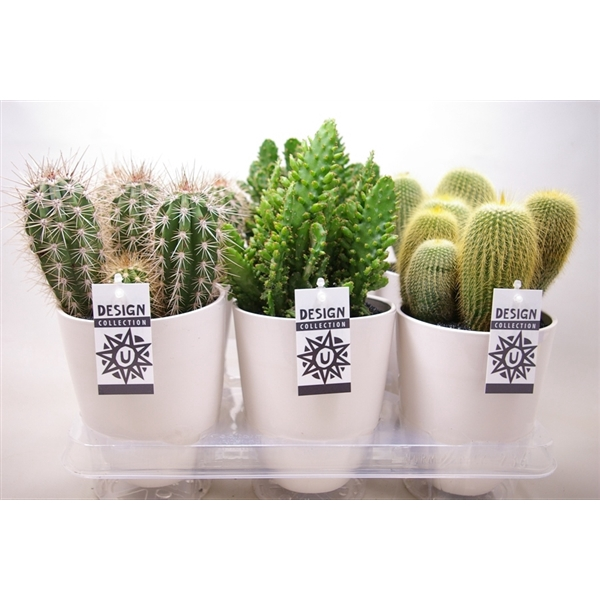 <h4>Cactus in ronde pot chic</h4>
